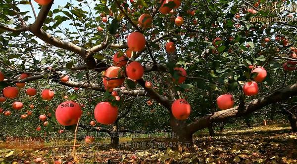 """连年稳居全国县级苹果品牌第一 灵宝采摘季带你感受""""苹果之美"""""""
