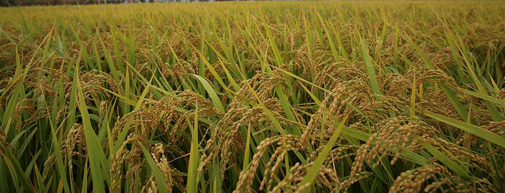 粮食品种升级满足舌尖上的新期待