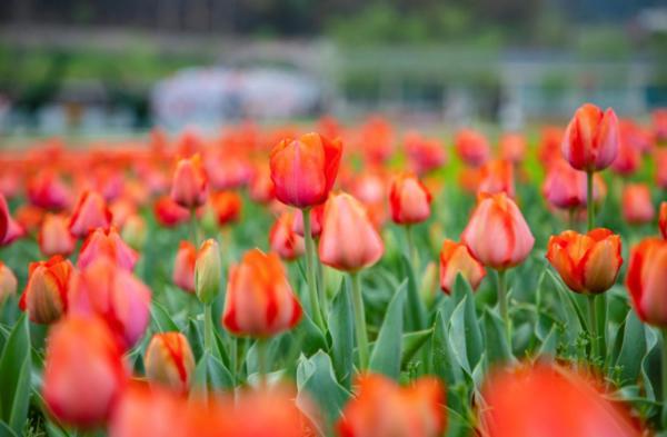 【女神节免门票】微醺三月 醉美西九华|郁金香赏花攻略来啦!