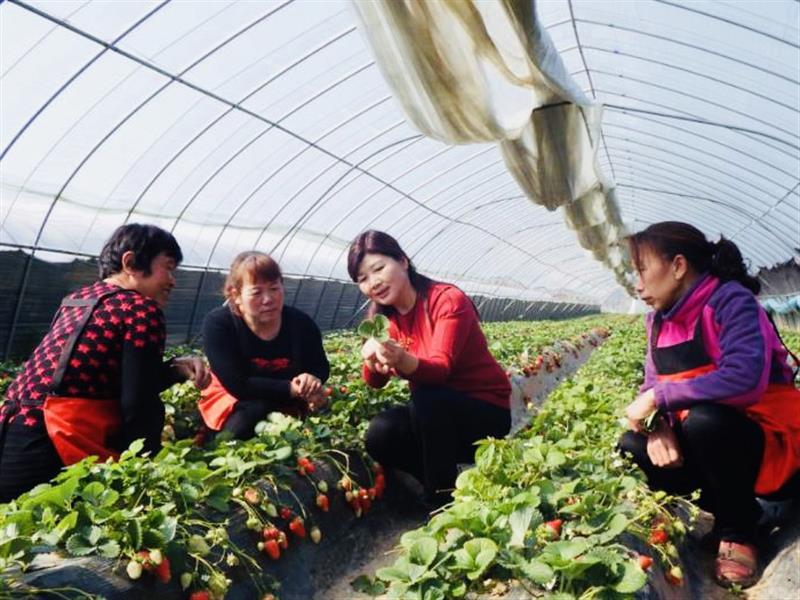 """河南省孟津县""""草莓西施""""吕妙霞:情怀注故土 致富为乡邻"""