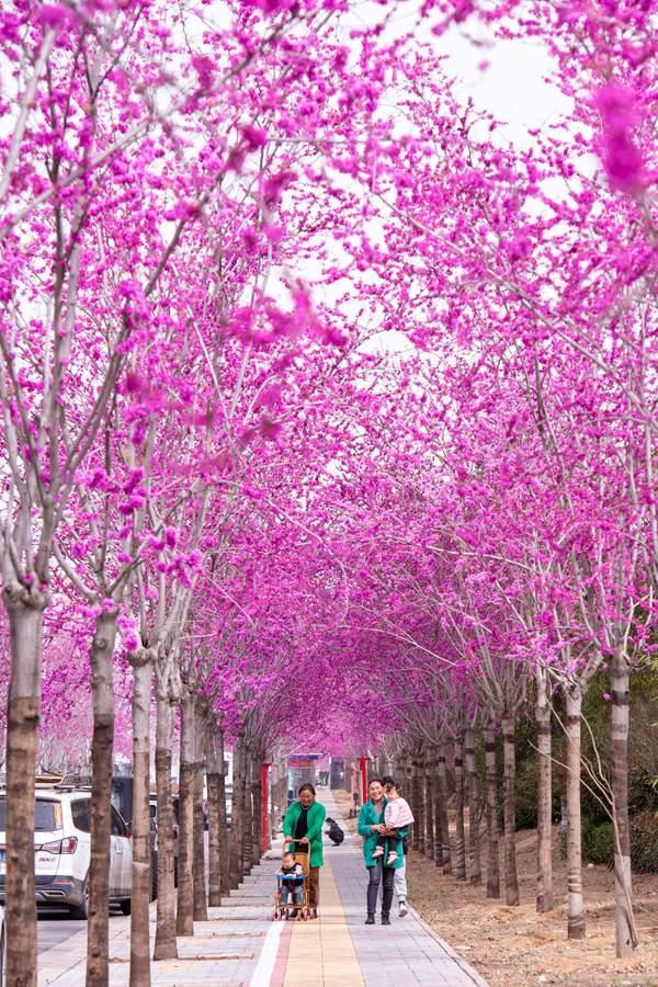 河南汝州:紫荆花开醉春光