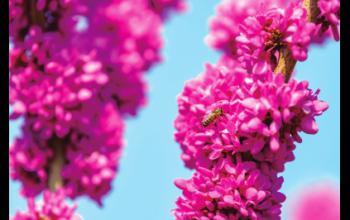 紫荆花如锦春日芳华浓